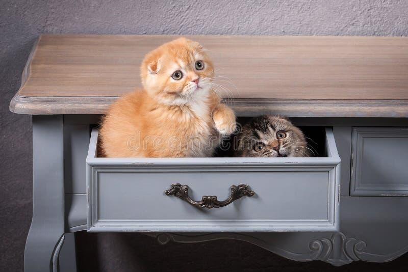 猫 被构造几只苏格兰折叠的小猫在木桌上和 免版税库存图片