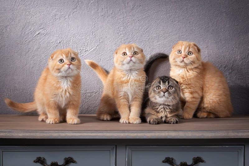 猫 被构造几只苏格兰折叠的小猫在木桌上和 库存照片