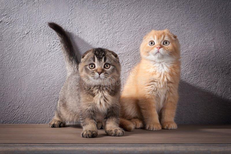 猫 被构造几只苏格兰折叠的小猫在木桌上和 库存图片