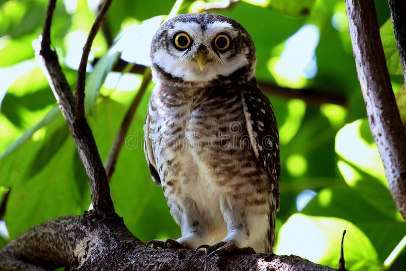 猫头鹰在与目光接触的分支栖息 免版税库存照片