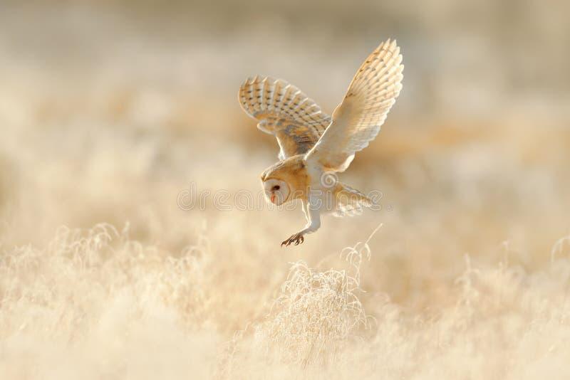 猫头鹰飞行 狩猎谷仓猫头鹰,在早晨好的光的野生鸟 美丽的动物在自然栖所 在草的猫头鹰着陆 A 库存图片
