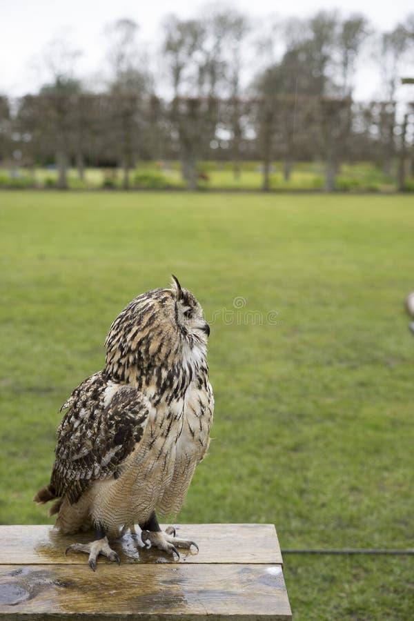Download 猫头鹰-苏格兰的高地 库存照片. 图片 包括有 羽毛, 双翼飞机, beautifuler, 苏格兰, 高地 - 72369902