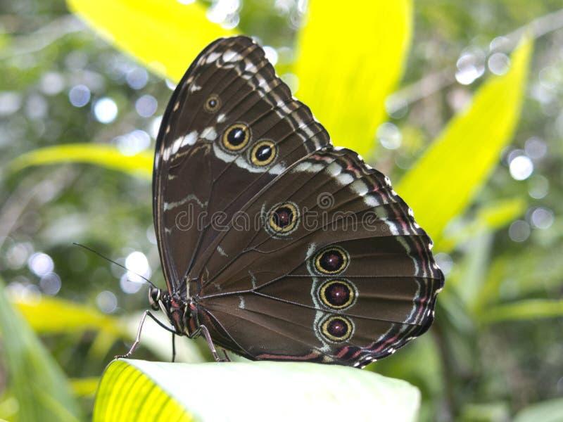 猫头鹰蝴蝶, Caligo sp 在亚马逊雨林 免版税库存图片