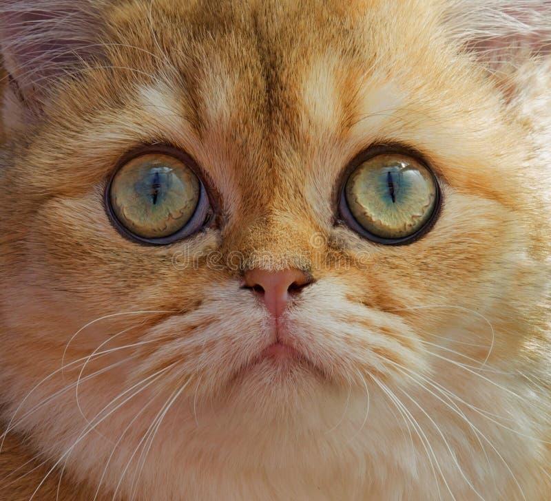 猫` s注视,英国Shorthair猫, 7个月特写镜头大 免版税库存照片