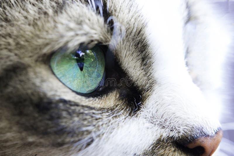 猫` s眼睛绿松石颜色的特写镜头 图库摄影