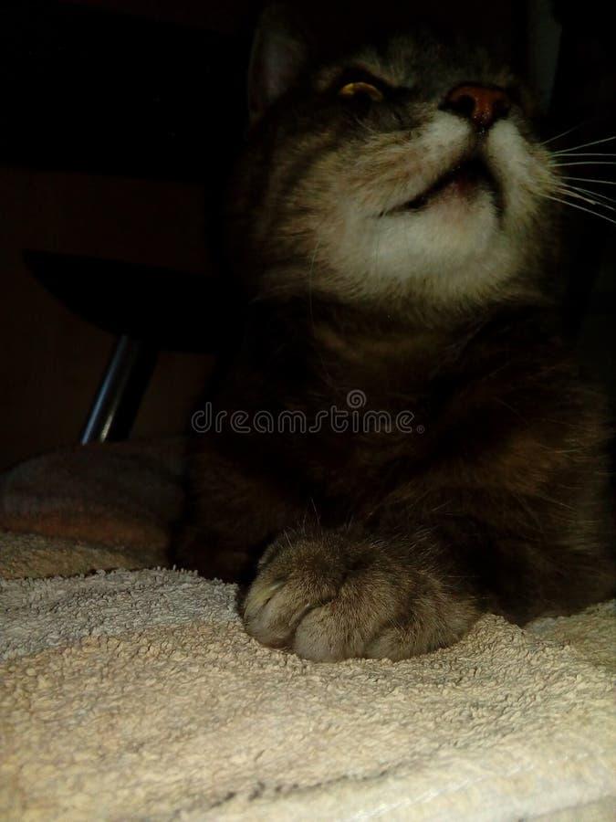 猫mausi 免版税图库摄影