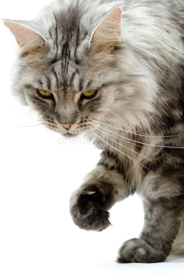 猫odie 免版税图库摄影