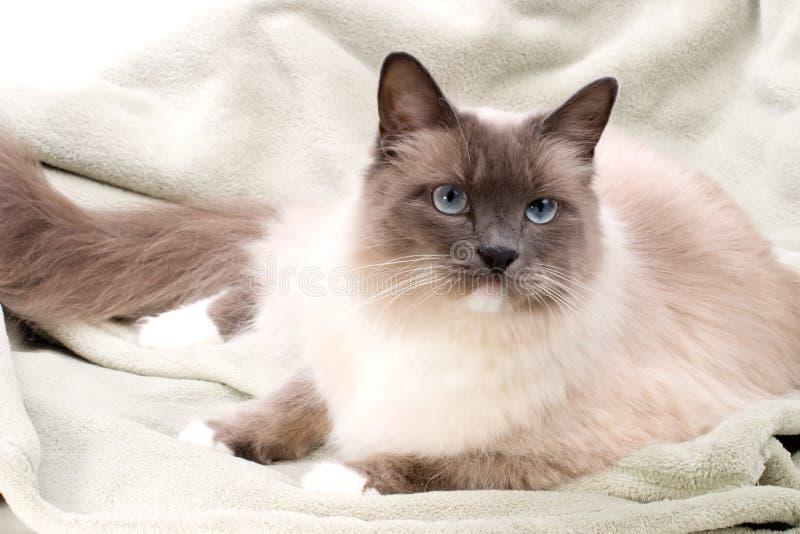 猫ragdoll系列 库存照片