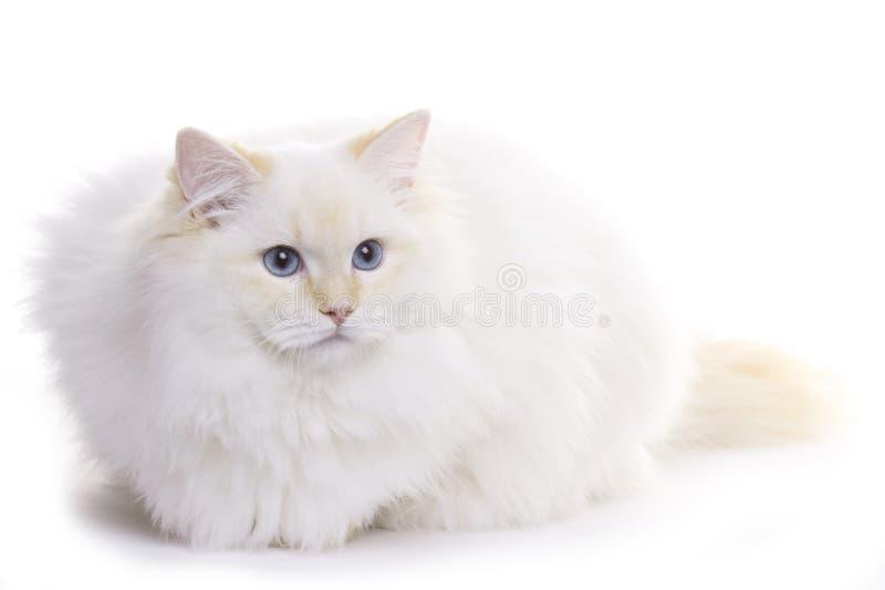 猫ragdoll 库存照片