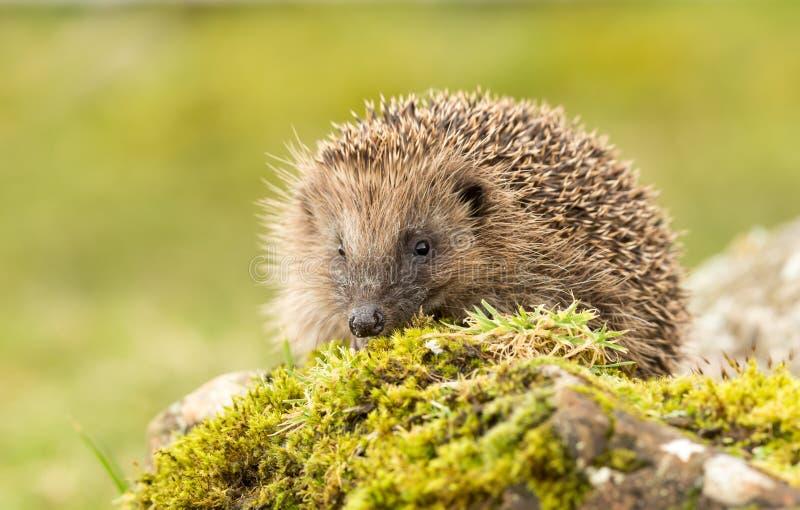猬、当地人、野生英国猬在绿色青苔和石头 免版税库存图片