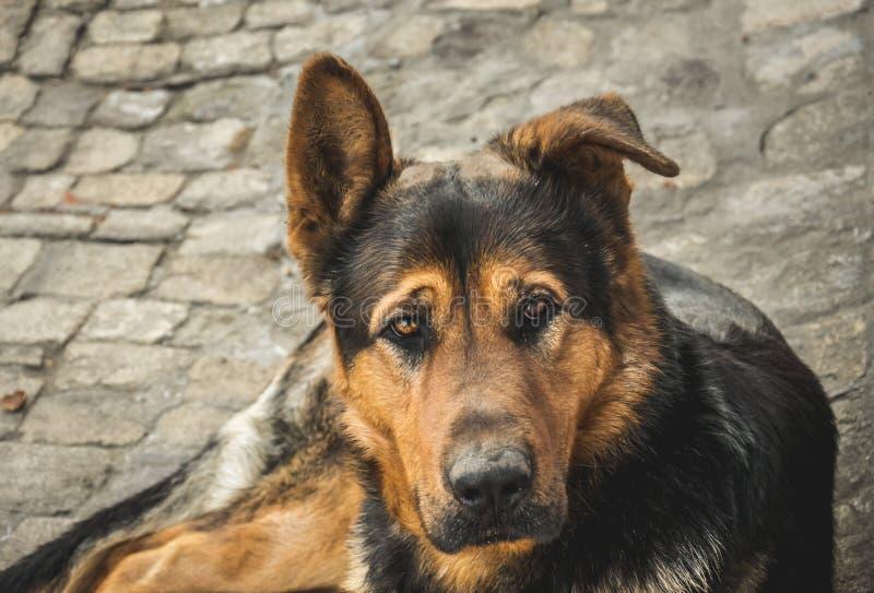献身者看家狗 德国牧羊犬 免版税图库摄影