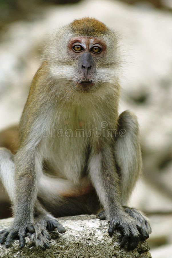 猴子冲击了 库存照片