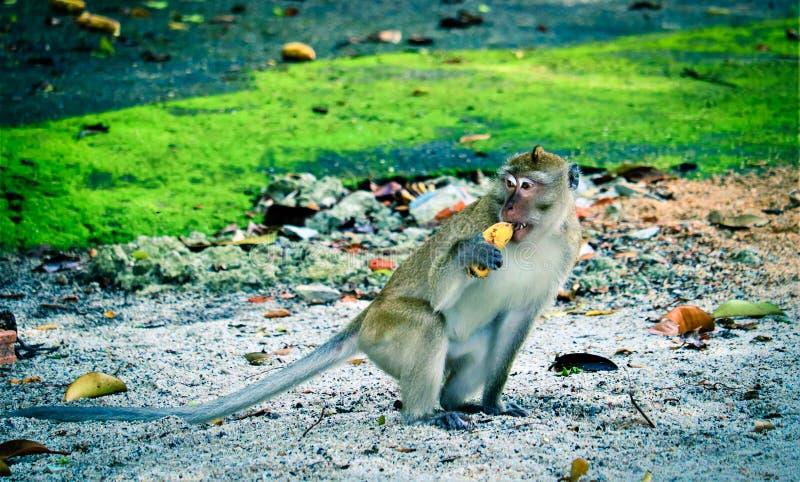 猴子吃着一个香蕉 免版税库存照片
