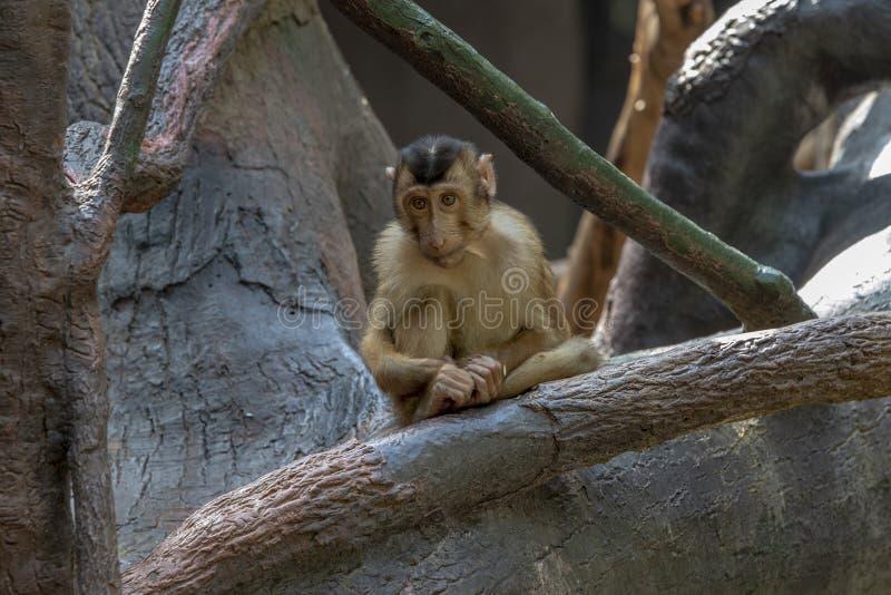 猴子在布拉格动物园里 免版税库存照片