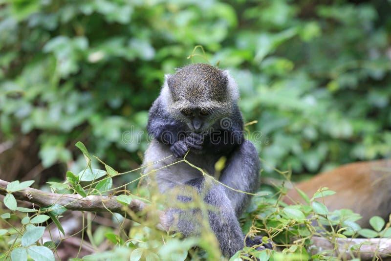 猴子在绿色森林里 图库摄影