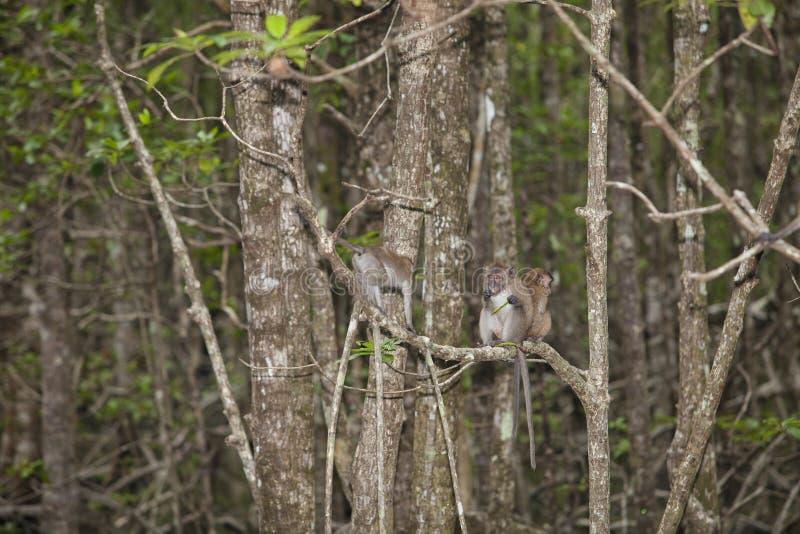 猴子在美洲红树森林里 免版税库存图片