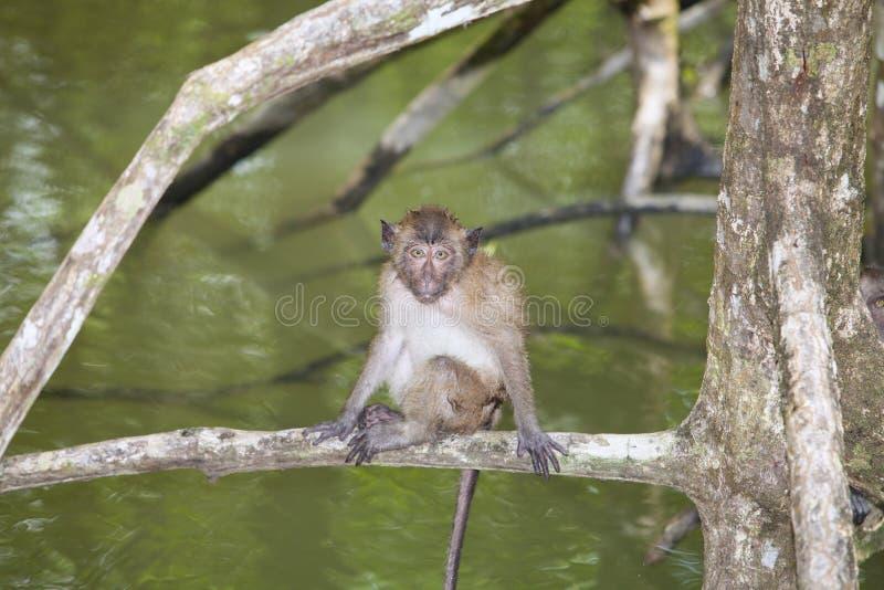 猴子在美洲红树森林里 免版税库存照片