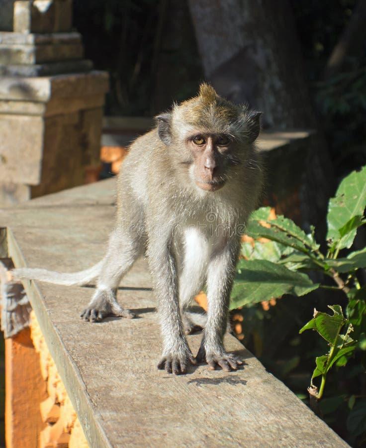 猴子在Ubud 库存照片