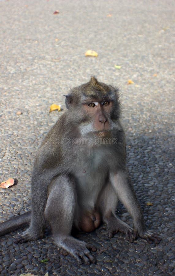 猴子在Ubud 免版税库存图片