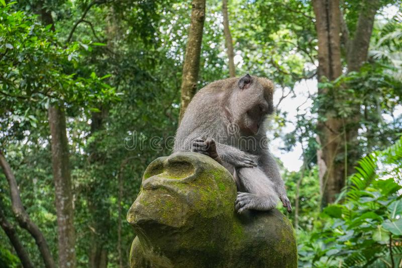 猴子坐一个石雕塑在神圣的猴子森林在Ubud,海岛巴厘岛,印度尼西亚 免版税图库摄影