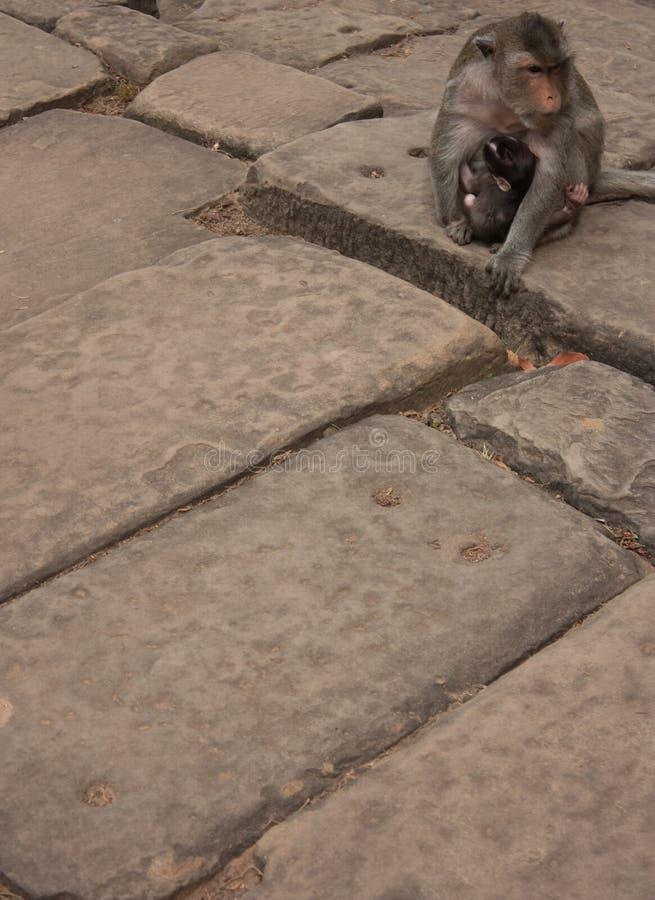 猴子坐在其中一个的石头联合国科教文组织吴哥地区的寺庙前面 库存图片