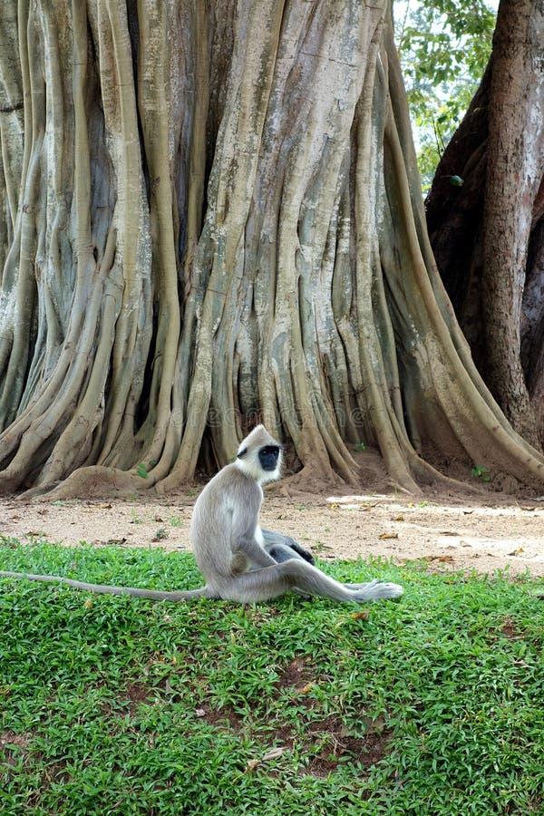 猴子坐地面由大榕树 图库摄影