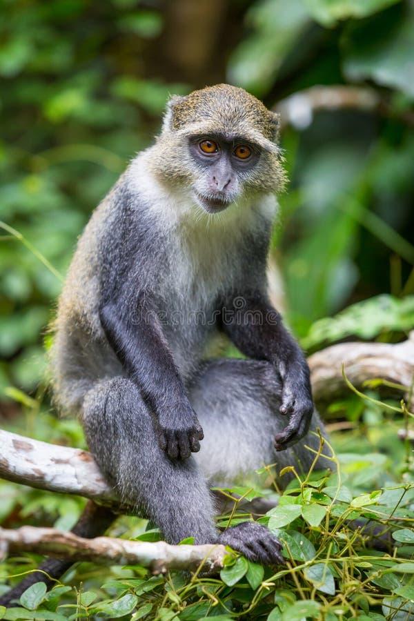 猴子坐树枝在森林里 库存图片
