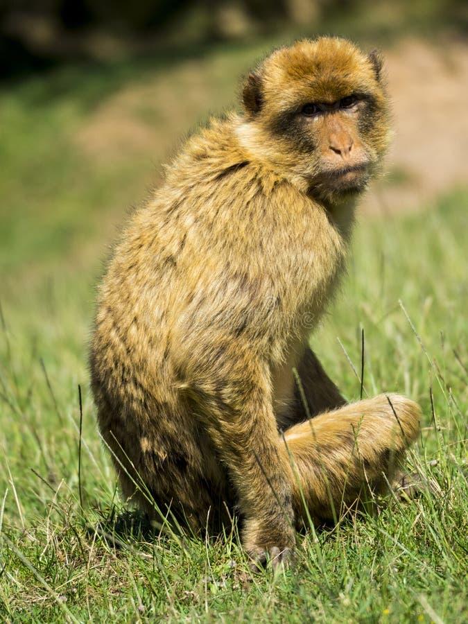 猴子坐草 免版税库存图片