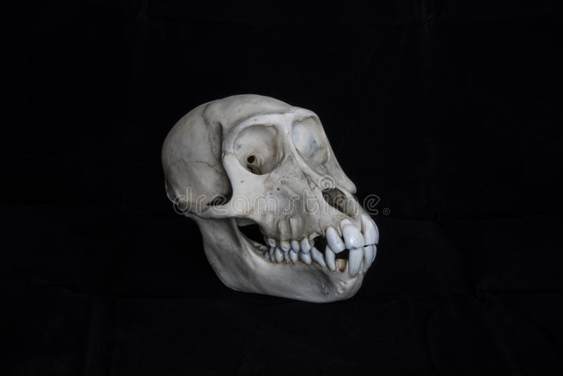 猴子头骨完全黑背景侧视图 库存照片