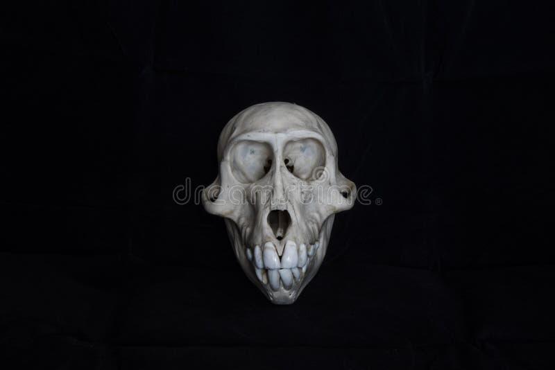 猴子头骨有黑背景 免版税库存图片