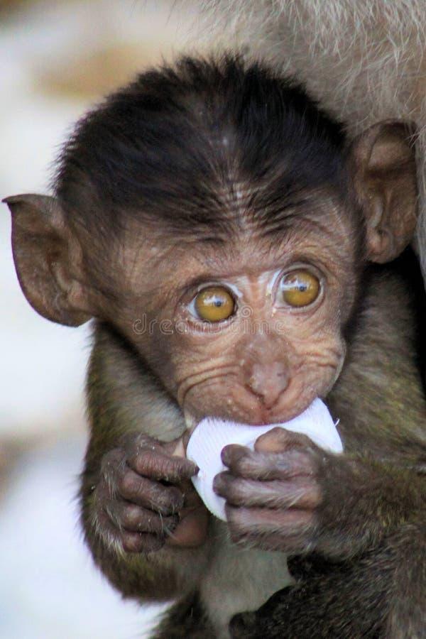 猴子婴孩螃蟹吃长尾的短尾猿,与使用与塑料垃圾的大眼睛的猕猴属fascicularis画象  库存图片