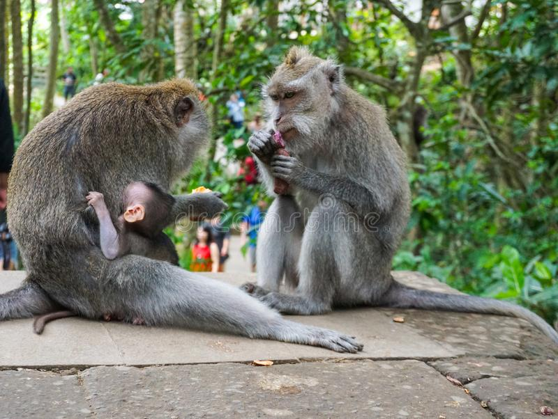 猴子家庭与一只小的小短尾猿的在Tample附近在猴子森林,Ubud,巴厘岛,印度尼西亚里 免版税库存照片