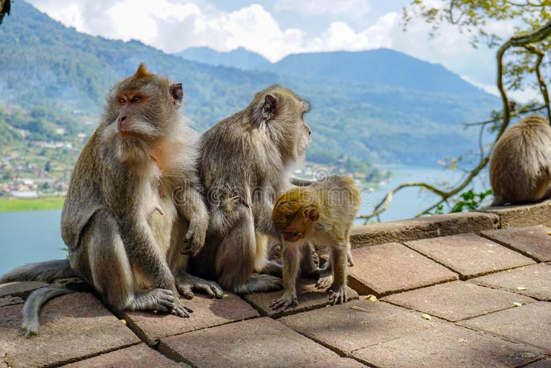 猴子家庭与一只小的小短尾猿的在Tample附近在猴子森林,Ubud,巴厘岛,印度尼西亚里 库存图片