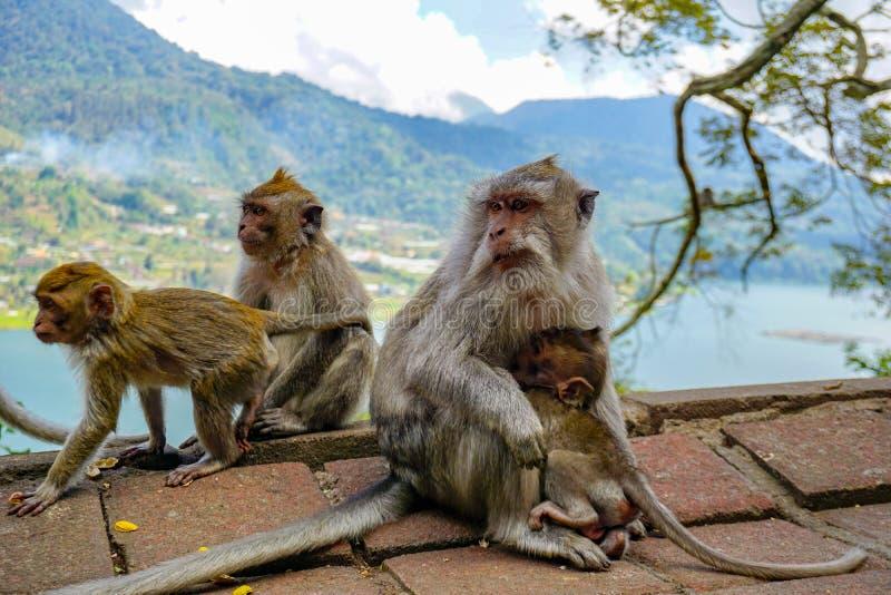 猴子家庭与一只小的小短尾猿的在Tample附近在猴子森林,Ubud,巴厘岛,印度尼西亚里 免版税库存图片