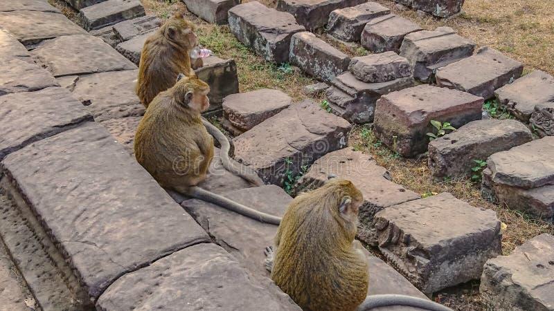 猴子家庭在吴哥窟 库存照片