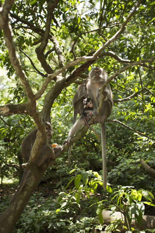 猴子家庭在热带森林里 免版税库存图片
