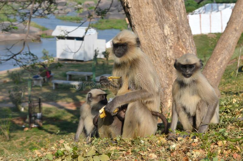 猴子家庭坐小山并且吃香蕉 免版税库存图片