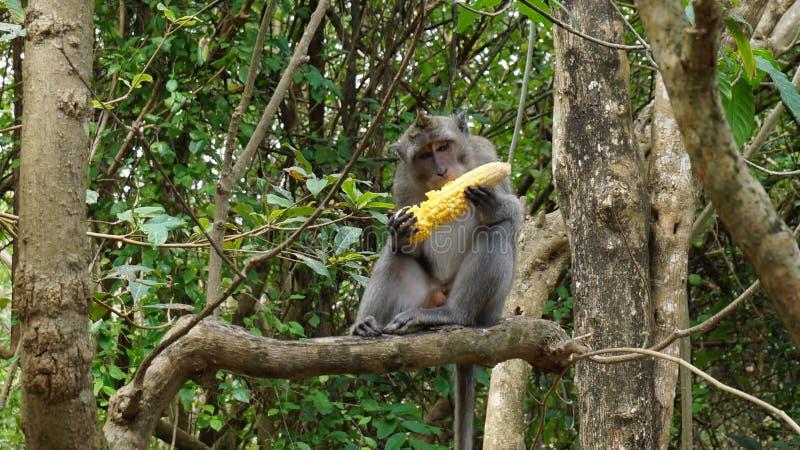 猴子巴厘岛 库存图片
