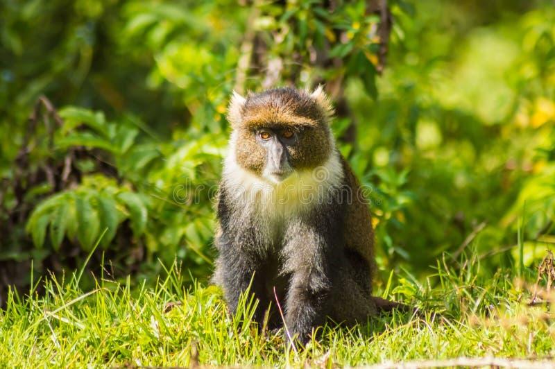 猴子希克斯长尾猴属frontalis坐草 库存照片