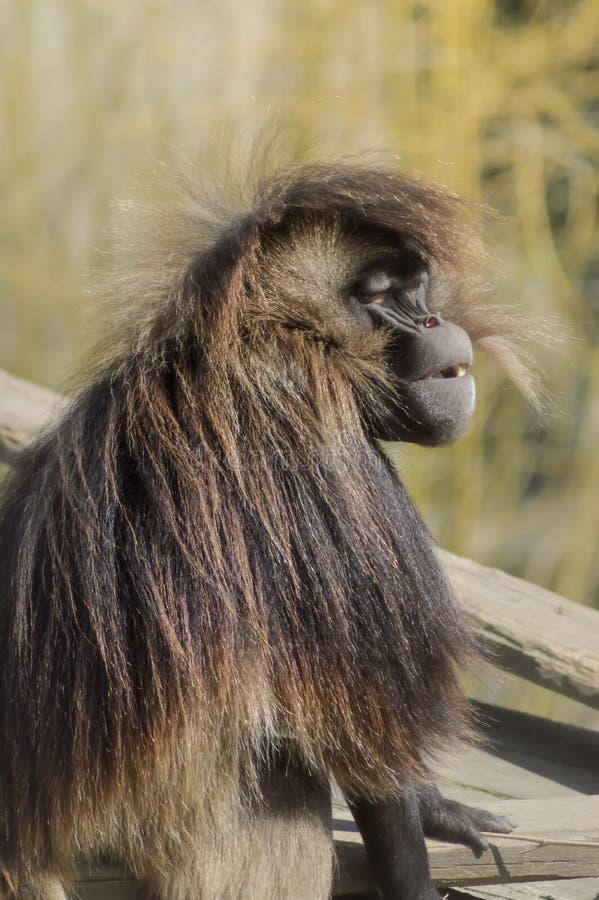 猴子狒狒gelada开会 免版税库存照片