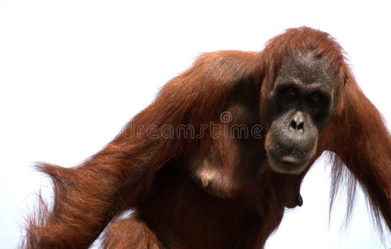 猴子猩猩sumatran 免版税库存照片