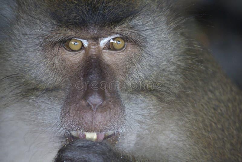 猴子用花生 免版税库存照片