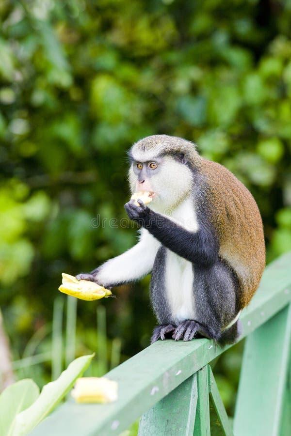 猴子用香蕉在盛大鹅塘国立公园,格林纳达 库存照片