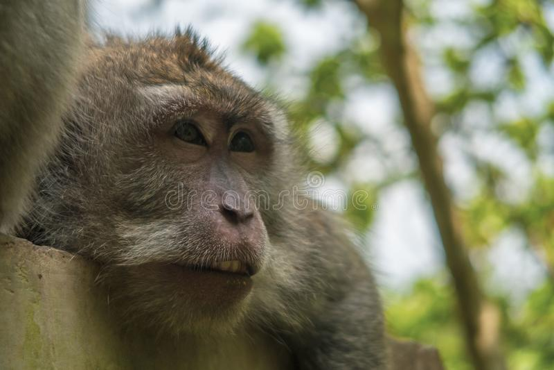 猴子短尾猿macacca画象面孔巴厘岛Ubud 库存照片
