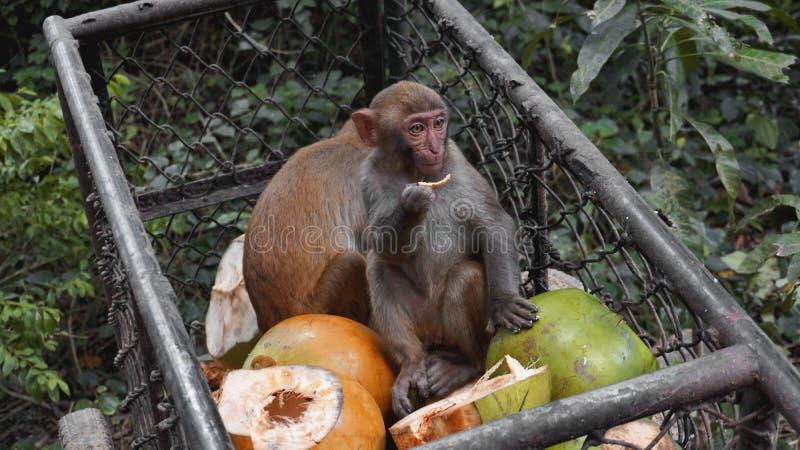 猴子窃取从金属推车的食物果子 图库摄影