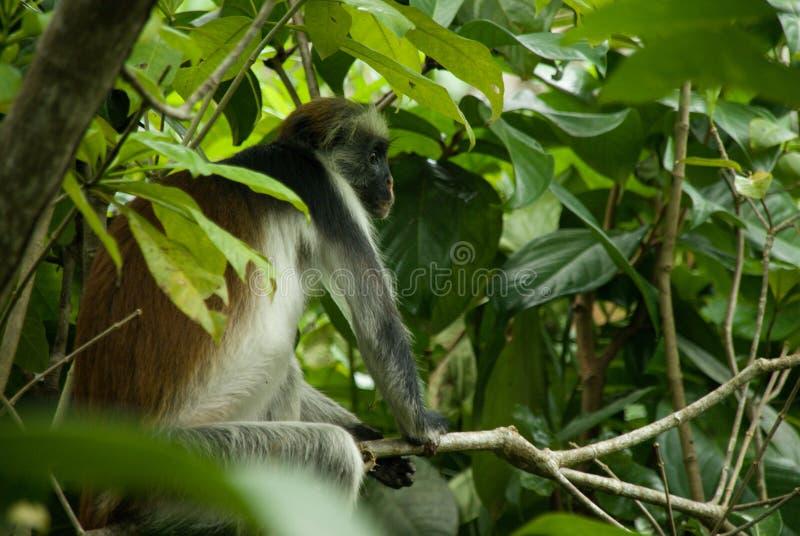 猴子红色疣猴动物哺乳动物的野生生物Jozani桑给巴尔坦桑尼亚 图库摄影