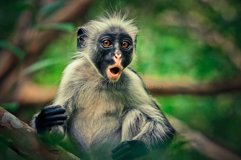 猴子红色疣猴,惊奇,地方性 免版税库存图片