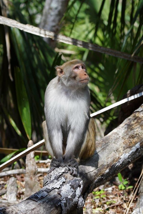 猴子罗猴 图库摄影