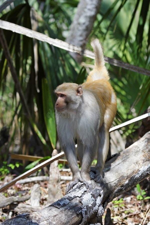 猴子罗猴 库存图片