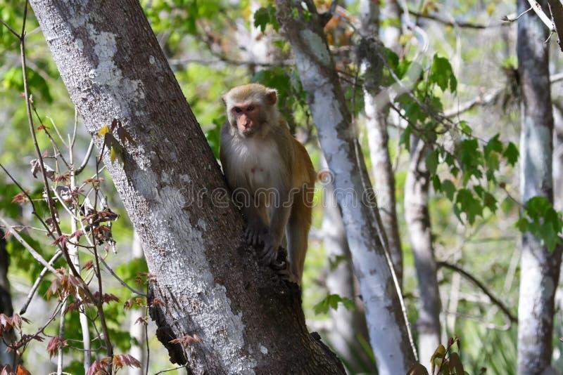 猴子罗猴 免版税图库摄影